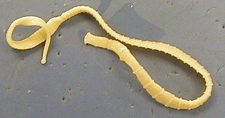 Trojtschatka der Beifuß der Rainfarn und die Nelke von den Parasiten, wie zu übernehmen