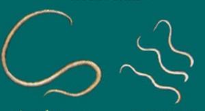 wormen bij mensen in ontlasting